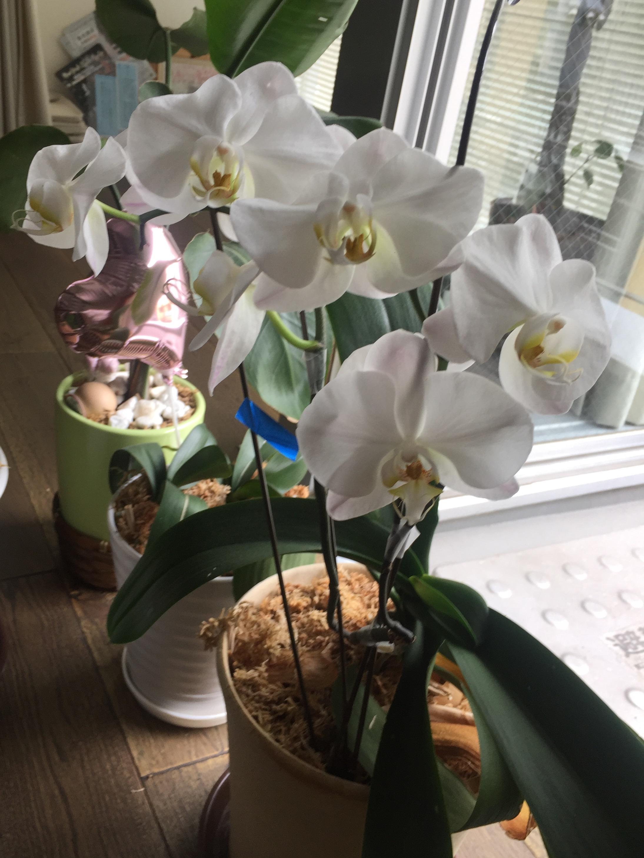 スタジオオープンのときに頂いた胡蝶蘭が、